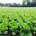 茨城県キャベツ畑