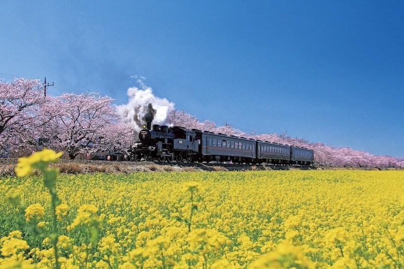 桜並木と菜の花の間を走るSL