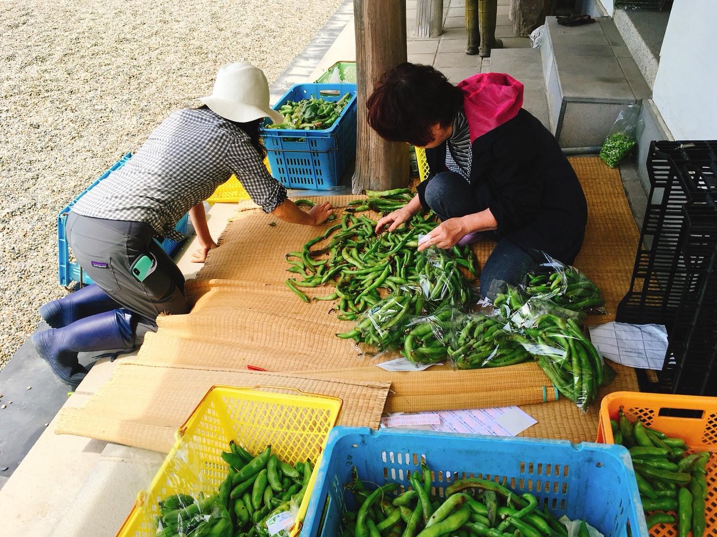 早朝に収穫したばかりの空豆を選別・包装している
