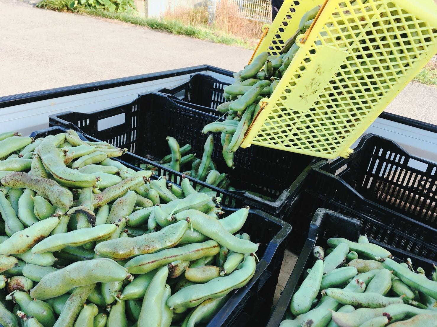 ちなみに、こちらが今回収穫した空豆たち