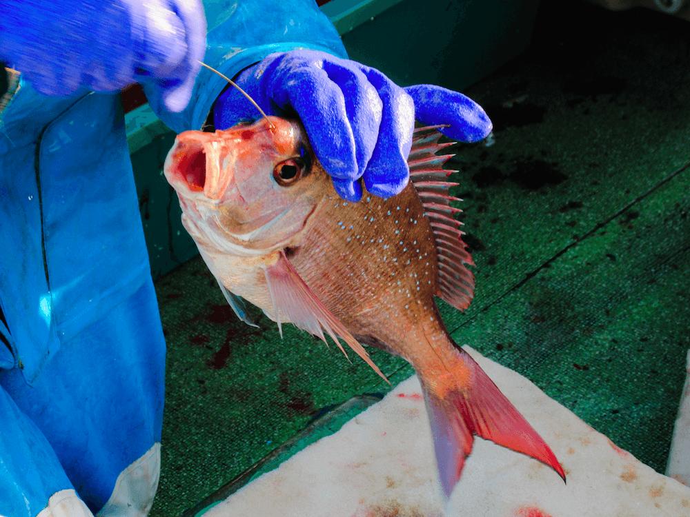 神経〆の様子。船の上で、魚が獲れた瞬間に漁師がしめる