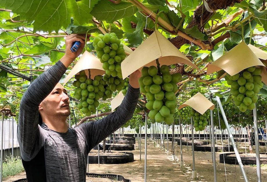 西条市は温暖で自然に恵まれた環境だからこそ、四季折々の果物を1年通じてつくることが可能。写真のぶどうをはじめ、柿やイチゴ、キウイなど、様々な果物を育てており、参加者をアテンドすることもよくあるんだとか。
