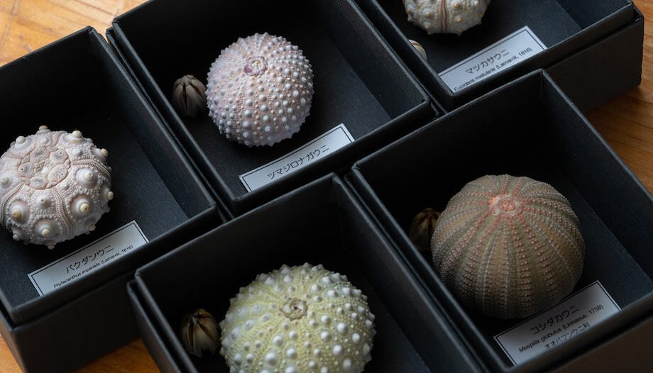 海の生き物博士がつくった「ウニ殻標本」。ウニの種類によって、大きさ、形、色が全く違います。皆さんのお手元に届くウニの種類は何か? お子様と一緒に調べてみるのもおすすめです。※お写真はイメージになります。