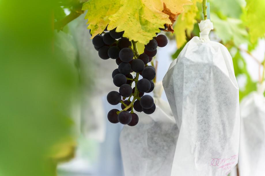 宗像氏はブドウやイチゴの他にも、試験的に育てているというパッションフルーツや、世界三大美果と呼ばれるほど強烈な甘みをもつチェリモヤ、柿などを見せてくれた。